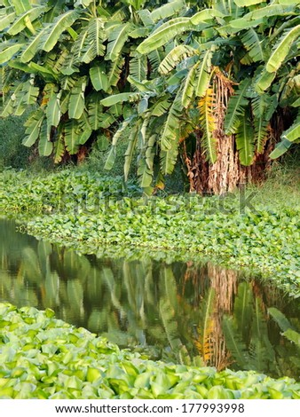 Green tropical floating water orchids, water plants on a small canal in country with smooth water surface reflections of banana and other tropical trees growing on the bank - stock photo