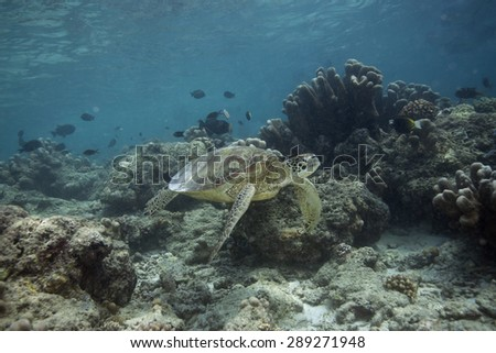 Green Turtle - stock photo