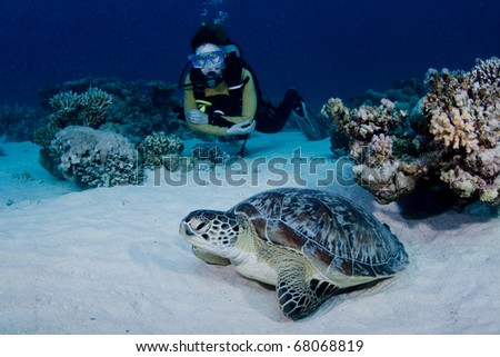 Green Turtle and female scuba diver in the Red Sea - stock photo