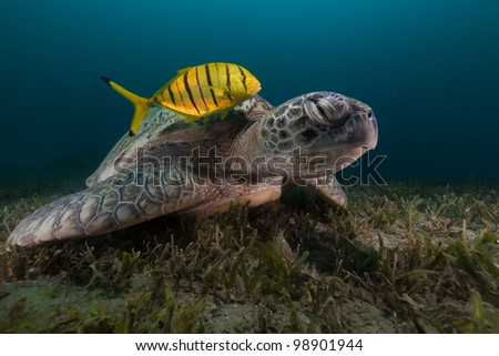 Green turtle and trevally in the Red Sea - stock photo