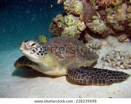 Green turtle and yellow remora on sand - stock photo