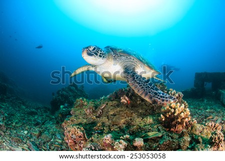 Green Turtle approaches the camera with SCUBA divers behind - stock photo