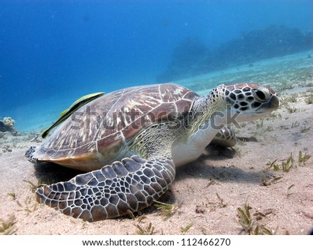 Green turtle (Chelonia mydas) eating the seagrass