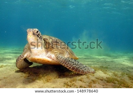 Green turtle (Chelonia mydas) finishing its eating on the sandy bottom at shallow water. Marsa Alam, Red sea, Egypt - stock photo