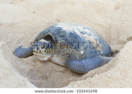 Green turtle (Chelonia mydas) laying her eggs and covering her nest on the beach in the daytime. - stock photo