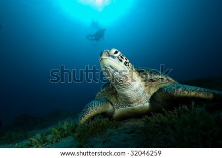 Green turtle (Chelonia mydas) resting on a seagrass bed. Red Sea Egypt. Hunted by some cultures for its meat. Species Endangered - stock photo