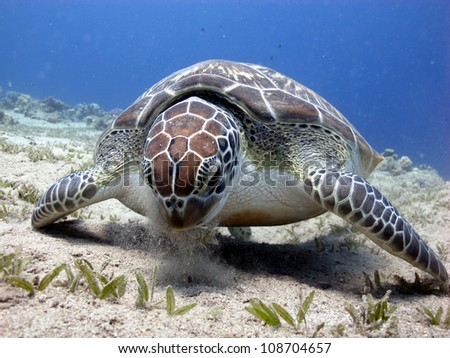 Green turtle eating (Chelonia mydas)
