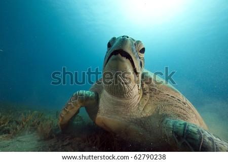 green turtle feeding on seagrass - stock photo