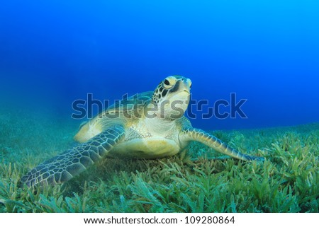 Green Turtle feeds on sea grass in the ocean
