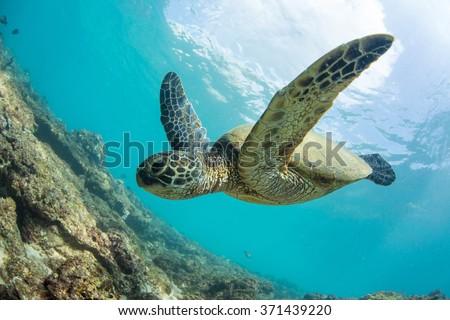Green turtle floating underwater. Hawaiian sea animals in natural habitat. - stock photo