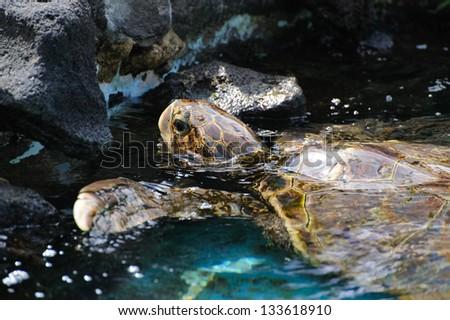 Green turtle in Hawaii - stock photo