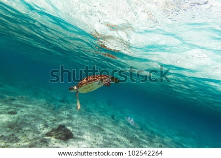 Green turtle in nature of Caribbean sea - stock photo