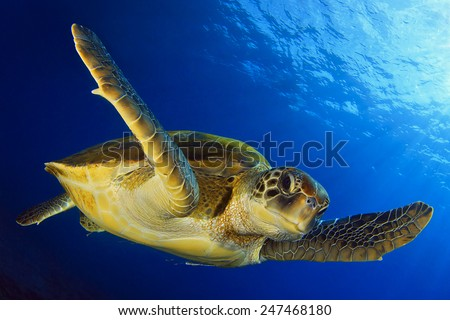Green turtle in the blue - stock photo