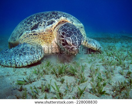 Green turtle meal time at Abu Dabbab - stock photo