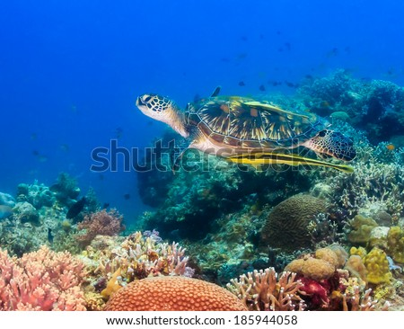 Green Turtle on a coral reef - stock photo