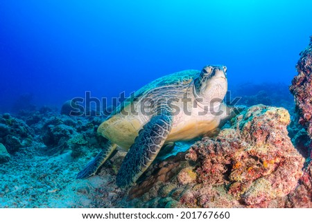 Green Turtle on a damaged coral reef on a dark afternoon - stock photo