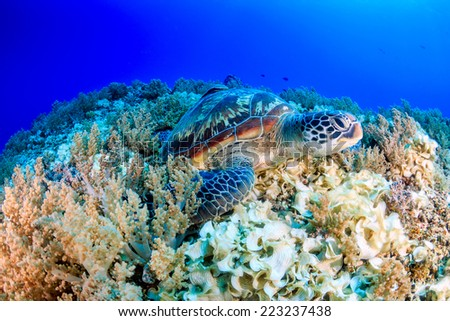 Green Turtle on a tropical coral reef