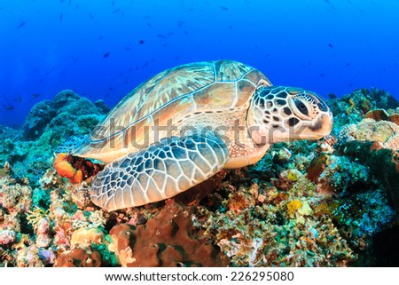 Green Turtle on a tropical coral reef - stock photo