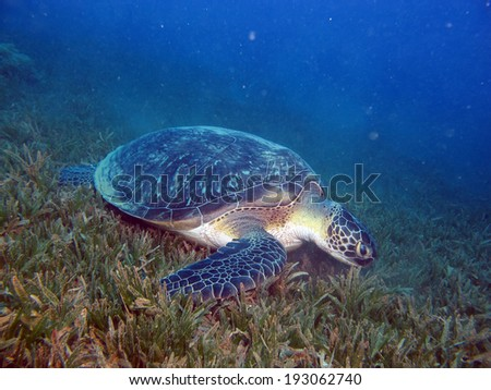 Green turtle on seagrass