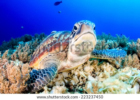 Green Turtle on the sea bed - stock photo