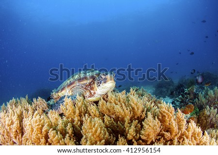 Green Turtle on the sea bed amongst the soft coral. - stock photo
