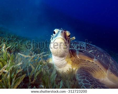 Green turtle portrait - stock photo