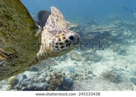 Green Turtle portrait swimming in the deep blue ocean reef - stock photo