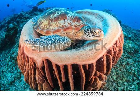 Green Turtle sleeping inside a barrel sponge on a tropical coral reef - stock photo