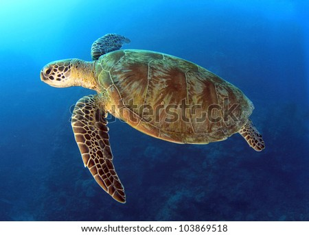 green turtle swimming in blue ocean,great barrier reef, cairns, queensland, coral sea, australia pacific loggerhead - stock photo