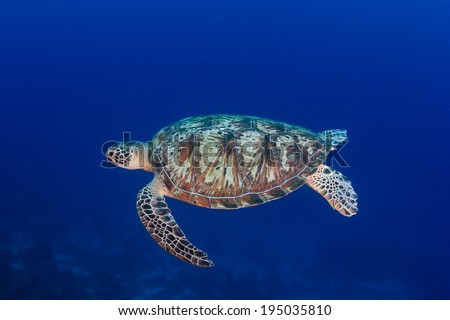 Green Turtle swimming in clear, blue water