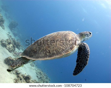 Green turtle swimming to the surface  (Chelonia mydas)