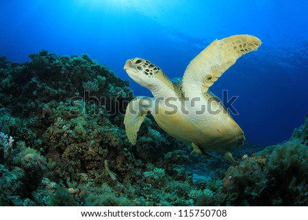 Green Turtle underwater ocean