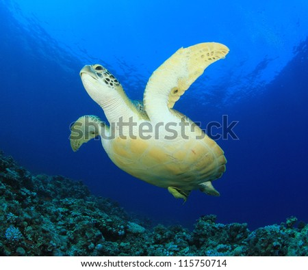 Green Turtle underwater ocean - stock photo