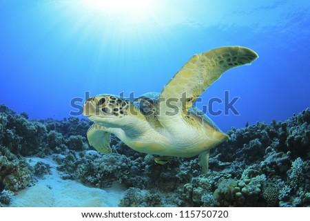 Green Turtle underwater ocean - stock photo