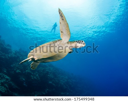 Green turtle underwater with a snorkler in the background - stock photo