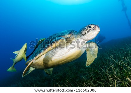 Green Turtle with 2 attached remora with a SCUBA diver in the background over a bed of sea grass in the Red Sea - stock photo