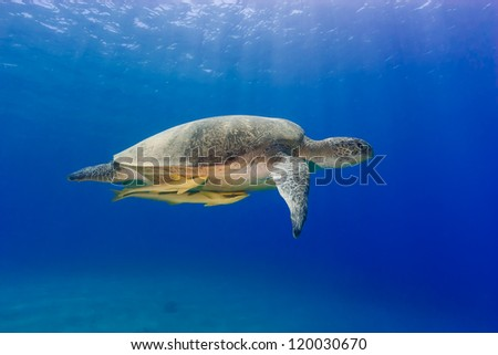 Green turtle with 2 remora swimming under sunbeams in blue water - stock photo