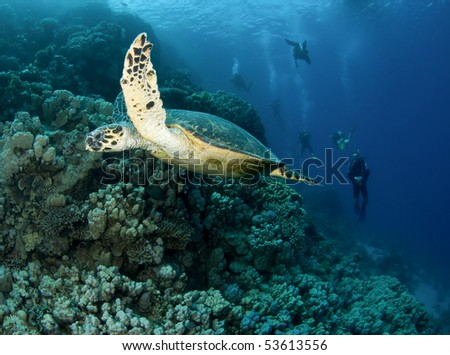 green turtle with scuba divers in background