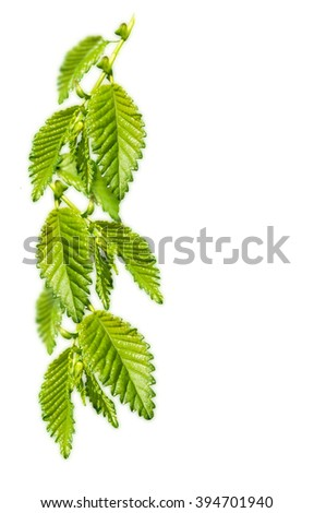green twig isolated - stock photo