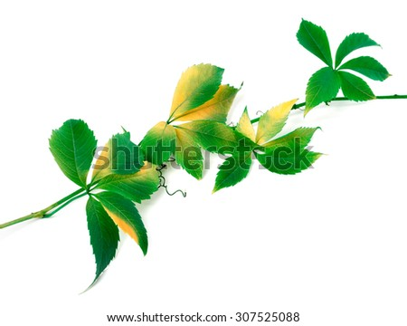 Green twig of grapes leaves (Parthenocissus quinquefolia foliage). Isolated on white background. - stock photo