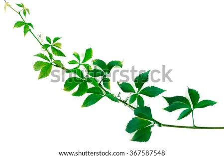 Green twig of grapes leaves. Parthenocissus quinquefolia foliage. Isolated on white background with copy space - stock photo