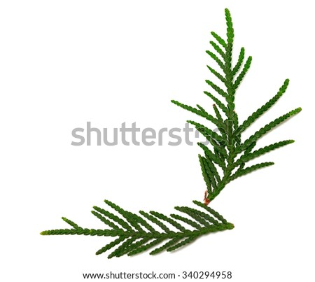 Green twigs of thuja isolated on white background with copy space - stock photo