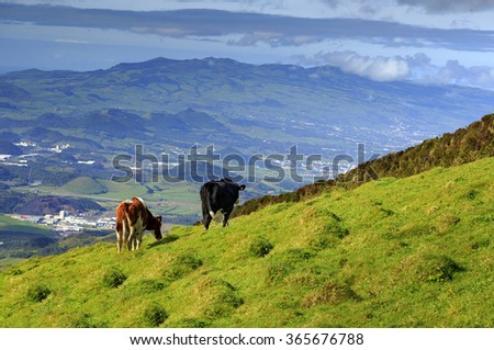 Green valley with cows and ocean on San Miguel island of Azores