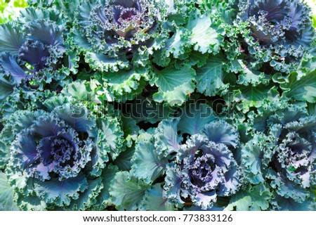 Green Vegetable In Garden Top View