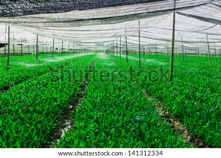 Green vegetable plot are translucent black canvas covered. - stock photo