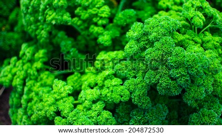 Green Vegetables Broccoli Background and Texture - stock photo
