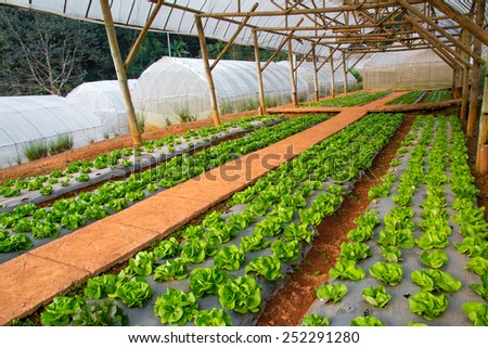 Green Vegetables Growing In The Farm