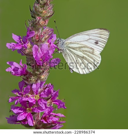 Green-Veined White Butterfly feeding on a wildflower. - stock photo