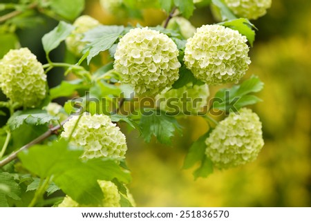 Green Viburnum opulus Roseum blooming shrub ornamental garden plant known as Sterile or Snowball, globular flower heads blossoms bunch, deciduous plant grow in Poland, Europe, horizontal orientation - stock photo