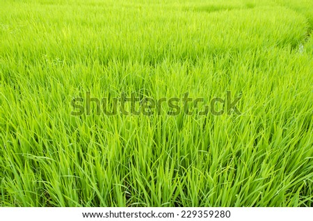 Green view of paddy rice field in Thailand